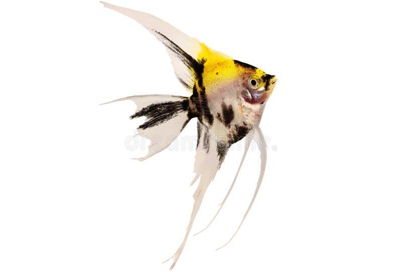 Pesce dell'acquario dello scalare di pterophyllum dell'angelo di mare di Koi isolato su bianco fotografie stock