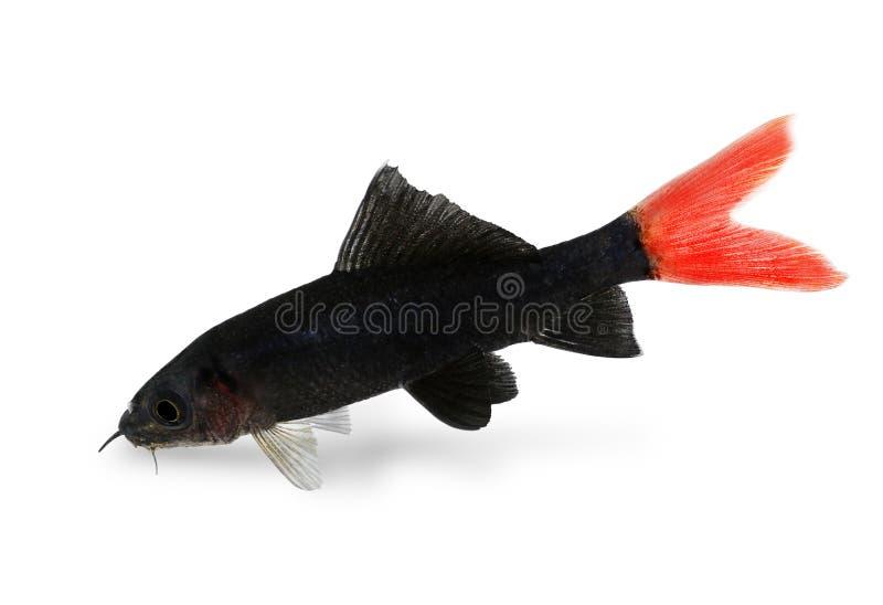 Pesce dell 39 acquario di epalzeorhynchos bicolor del pesce for Pesce gatto acquario