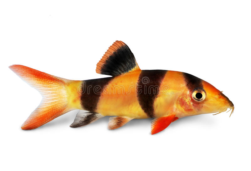 Pesce dell'acquario di macracanthus di Botia del pesce gatto di botia della tigre della cobite del pagliaccio immagine stock libera da diritti