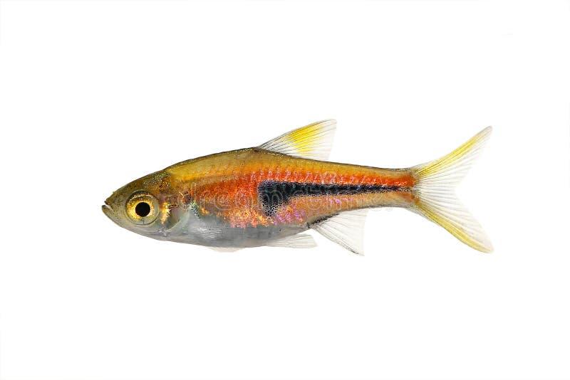 Pesce dell'acquario di rasboras di taglio di agnello di rasbora heteromorpha dell'arlecchino del Het di Rasbora immagine stock