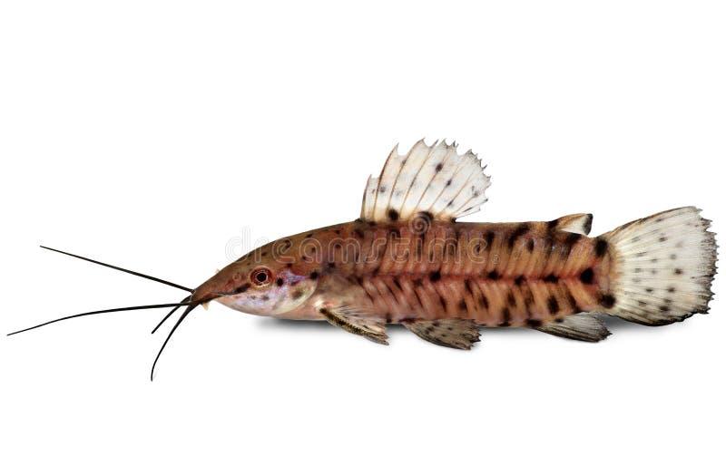 Pesce dell 39 acquario di thoracatum di hoplosternum del for Pesce gatto acquario