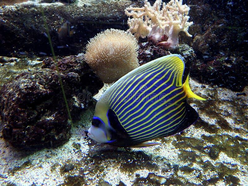 Pesce dell'angelo di mare dell'imperatore sulla barriera corallina fotografia stock libera da diritti