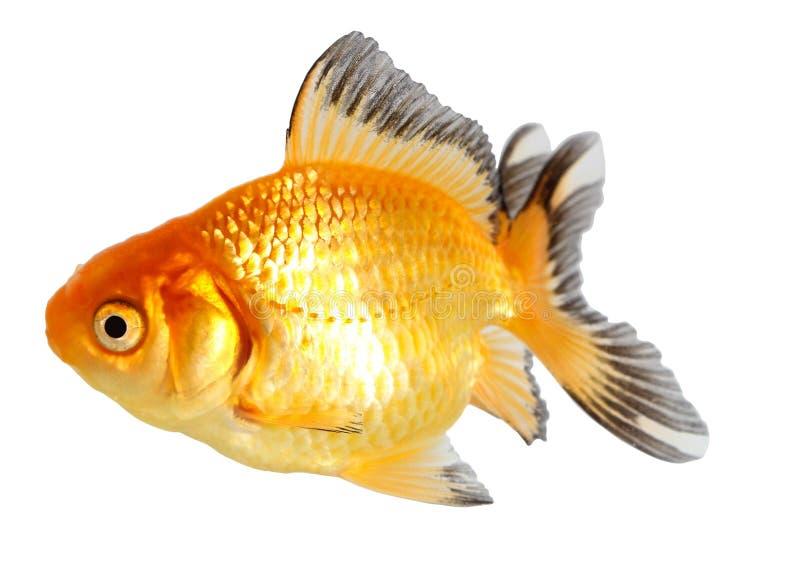 Pesce dell'oro. Isolamento sul bianco immagine stock