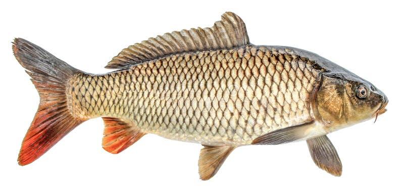 Pesce della carpa isolato Vista laterale, isolata fotografia stock libera da diritti