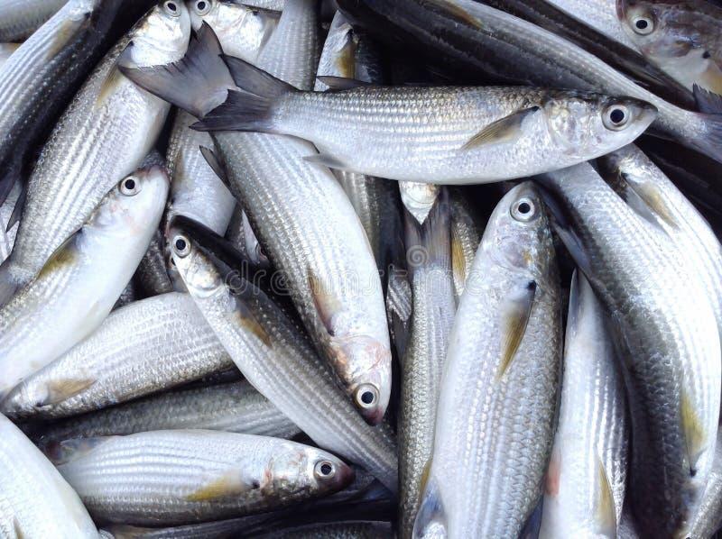 Pesce della muggine fotografia stock libera da diritti