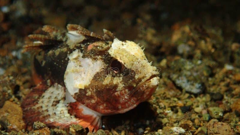 Pesce della pietra del bambino in Anilao filippino immagine stock