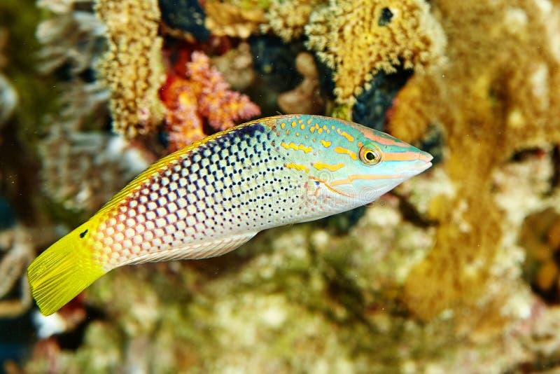 Pesce della scogliera sotto acqua fotografia stock libera da diritti