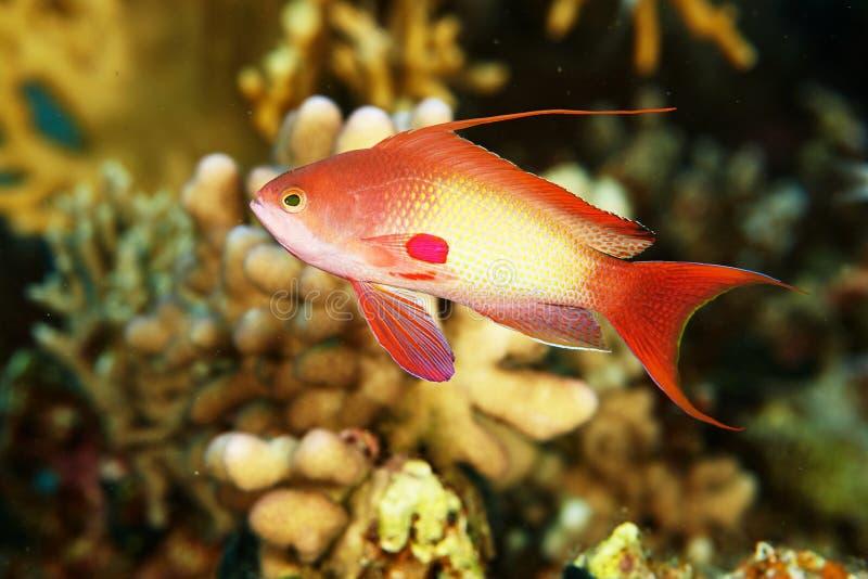 Pesce della scogliera sotto acqua fotografia stock