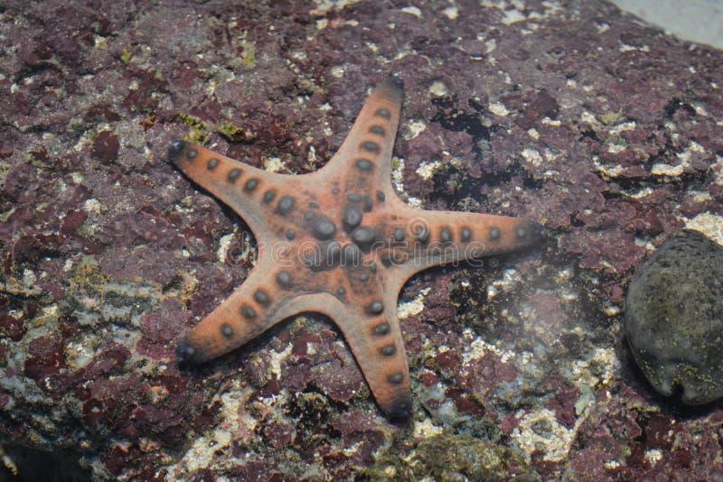 Pesce della stella immagini stock libere da diritti