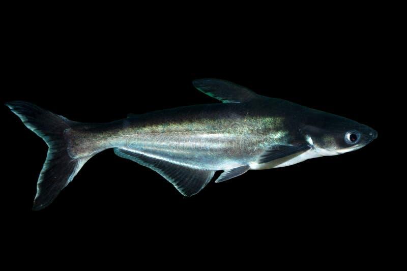 Pesce dello squalo su fondo nero immagini stock