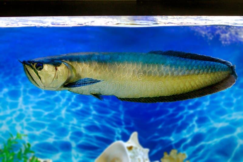 Pesce di acqua dolce tropicale di arovana nell 39 acquario for Pesce pulitore acqua dolce fredda