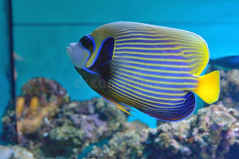 Pesce di angelo e barriera corallina immagini stock
