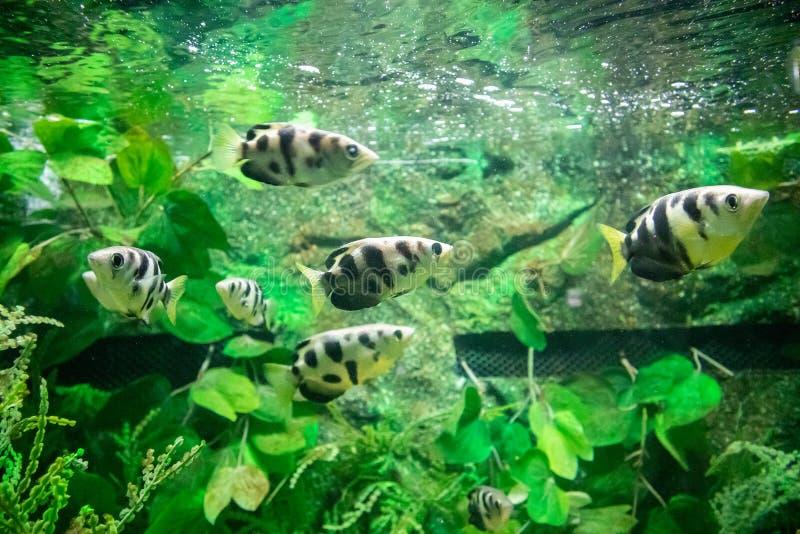 Pesce di Archer in acquario immagini stock libere da diritti