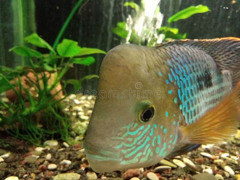 Pesce di arcobaleno immagine stock libera da diritti