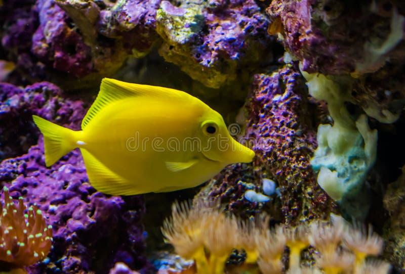 Pesce di ascophyllum nodosum, uno dei pesci più popolari in acquacoltura, pesce tropicale dall'Hawai fotografia stock libera da diritti