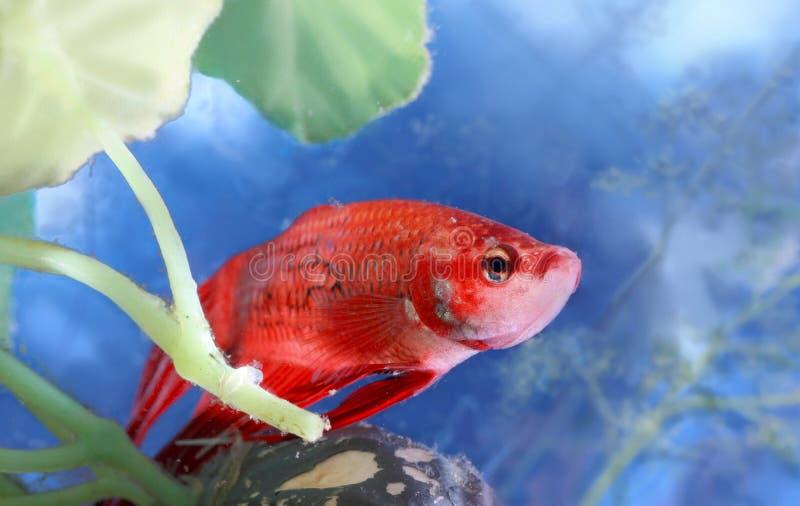 Pesce di Betta immagine stock