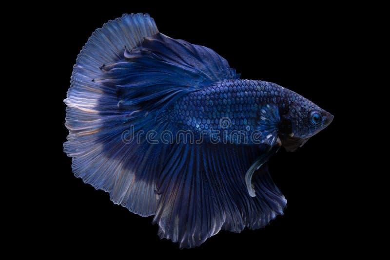 Pesce di betta di mezzaluna fotografia stock libera da diritti