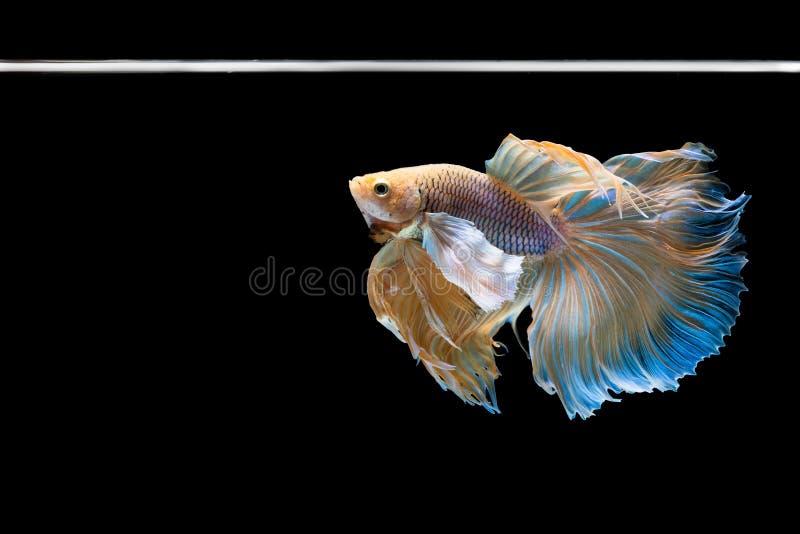 Pesce di betta di mezzaluna bello catturi il bello pesce di momento di betta commovente del beautifHalfmoon catturi il momento co immagine stock