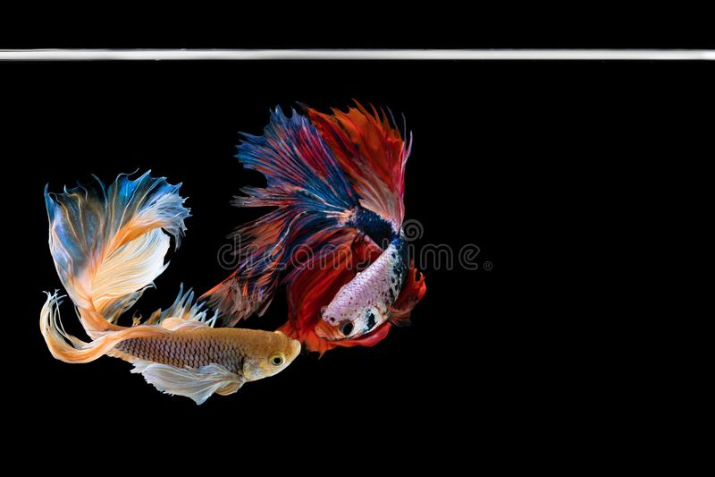 Pesce di betta di mezzaluna due bello Catturi il momento commovente bello del pesce di betta del Siam in Tailandia su fondo nero immagine stock