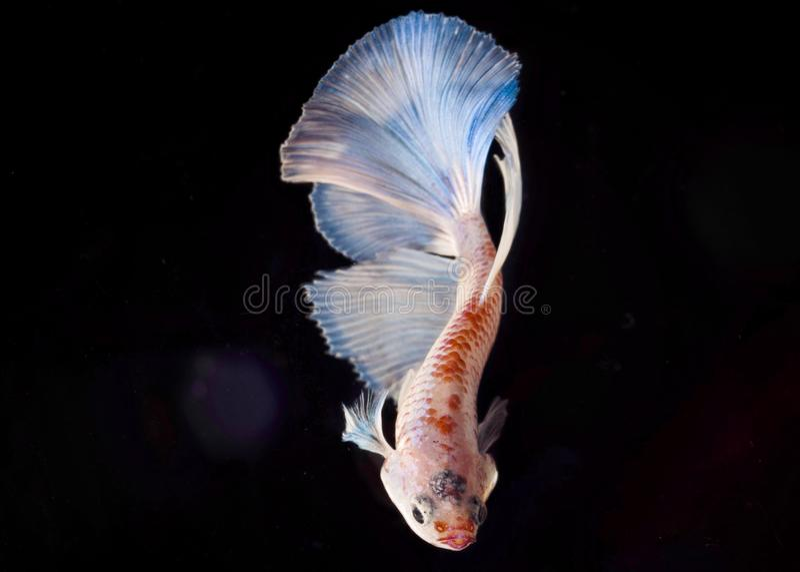 Pesce di Betta o pesce combattente sopra fondo nero fotografia stock libera da diritti
