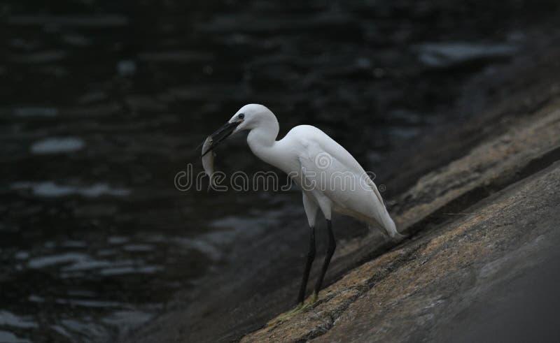 Pesce di cattura dell'uccello dell'egretta come preda immagine stock