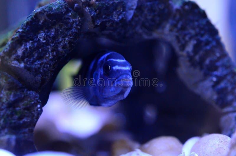Pesce di cichlidae in acquario Nome scientifico: Pseudotropheus Demasoni immagini stock libere da diritti