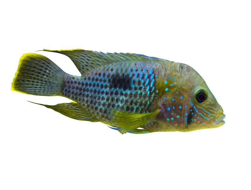 Pesce di cichlidae blu elettrico di Acara Blu al neon di Nannacara fotografie stock