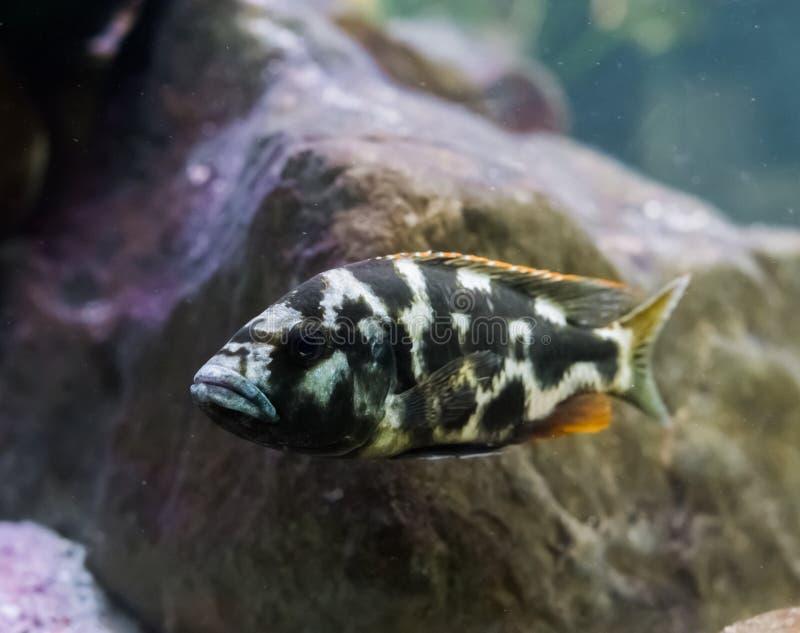 Pesce di cichlidae di Lingingston giovanile in primo piano un giovane animale domestico tropicale dell'acquario immagini stock