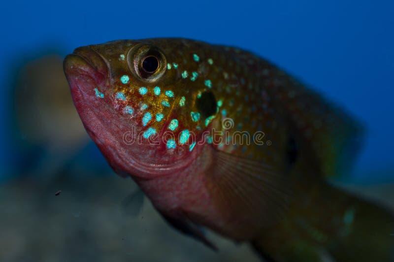 Pesce di cichlidae rosso maschio del gioiello fotografie stock libere da diritti