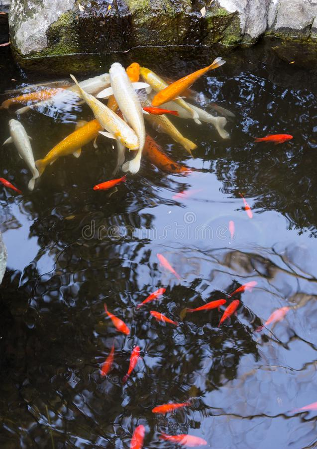 Pesce di Coi in un giardino giapponese fotografie stock libere da diritti