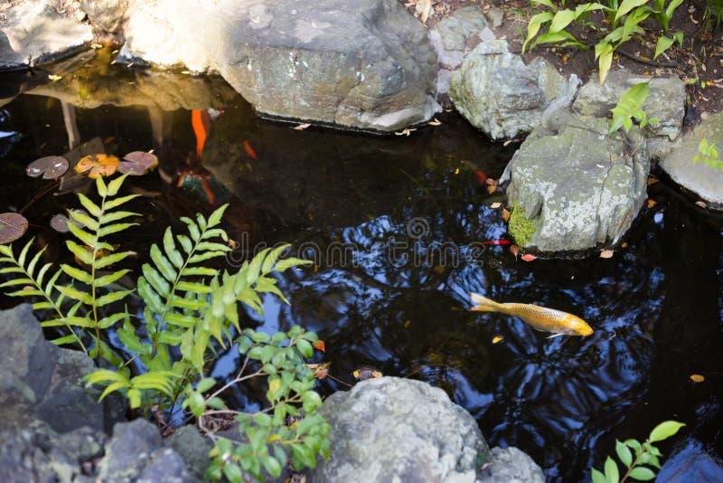 Pesce di Coi in un giardino giapponese fotografia stock