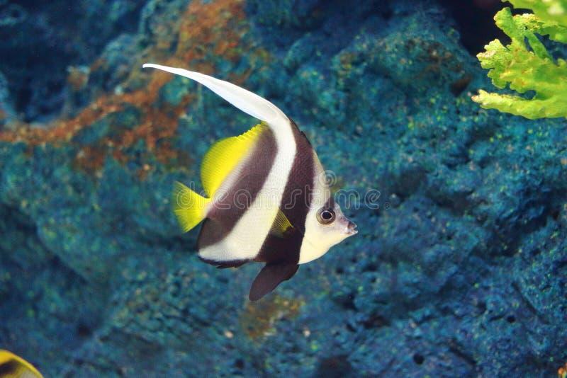 Pesce di corallo dello stendardo fotografie stock libere da diritti
