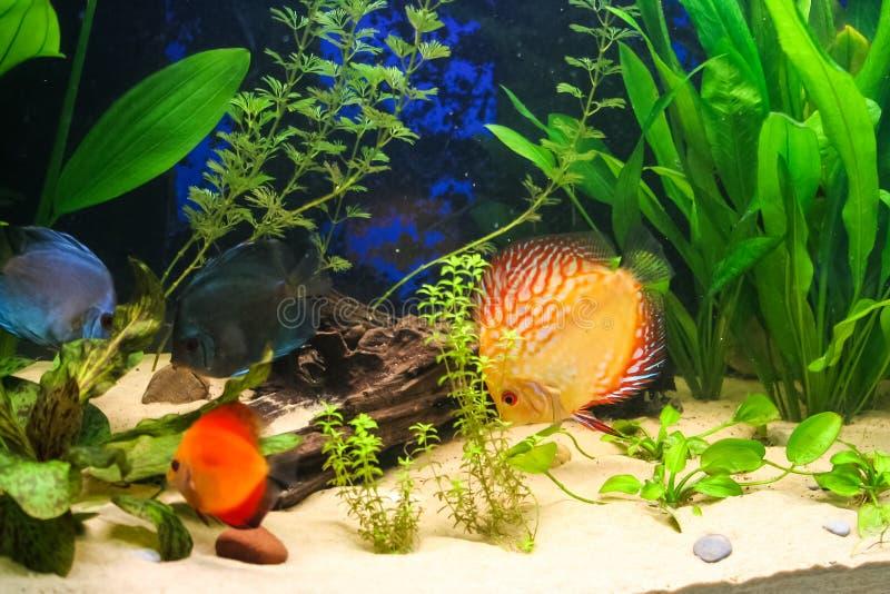 Pesce di Dicus in un acquario fotografia stock