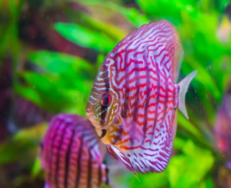 Pesce di disco in primo piano con rosso variopinto, colori in bianco e nero, un animale domestico tropicale dell'acquario dal bac fotografia stock