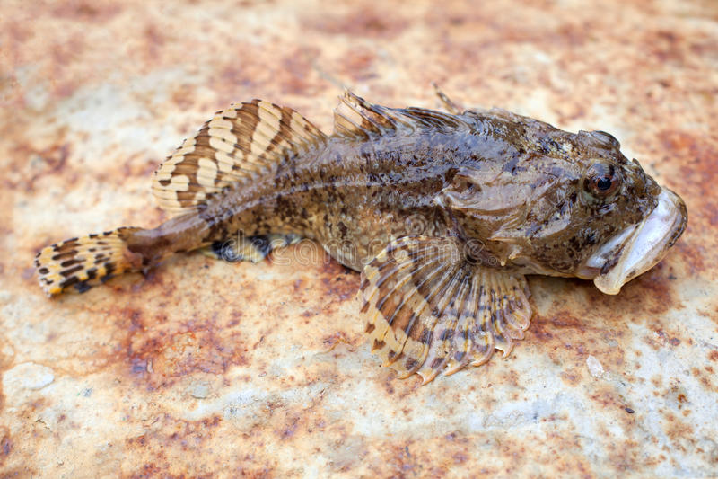 Pesce di Goby immagine stock