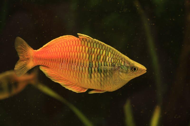 Pesce di gorami nero del miele fotografie stock libere da diritti