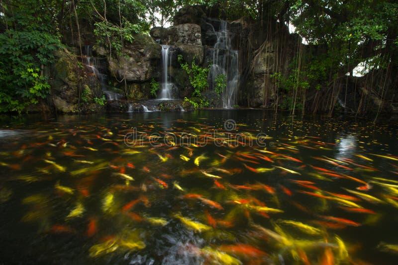 Pesce di koi in stagno al giardino con una cascata for Pesci da stagno