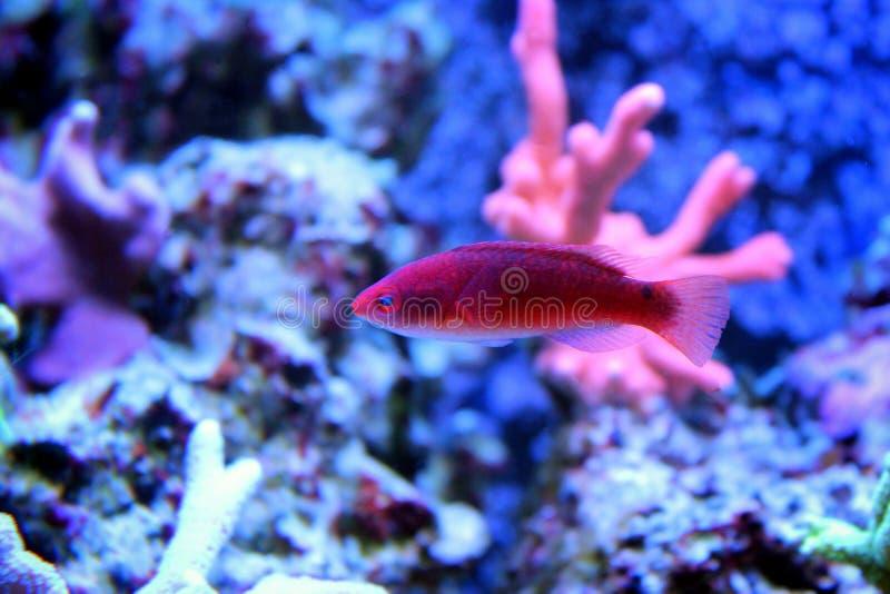 Pesce di mare in acquario marino immagine stock