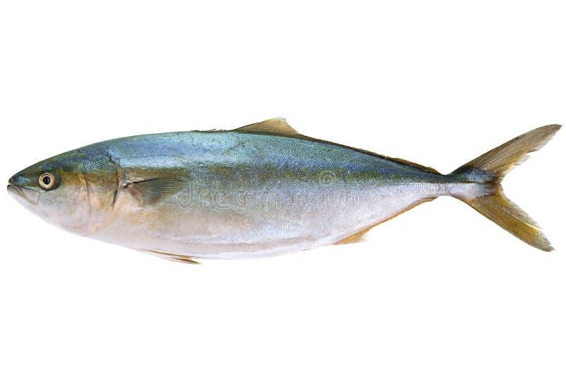 Pesce di mare del tonno su bianco fotografie stock libere da diritti