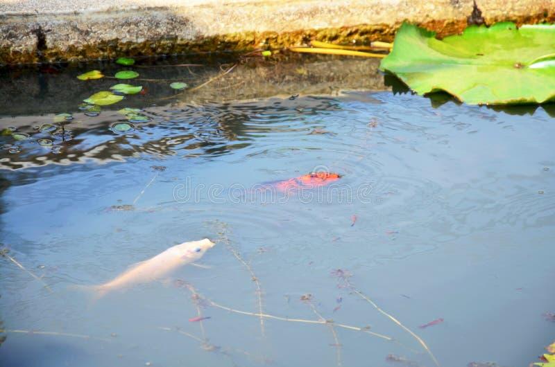 Pesce di Molly o pesci di Swordtail che nuotano immagine stock libera da diritti