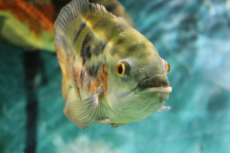 Pesce di Oscar sopra all'acquario fotografia stock