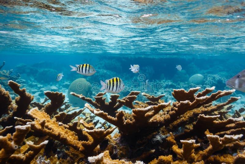 Pesce di sergente Major, nuotata sulla barriera corallina in mar dei Caraibi fotografia stock libera da diritti