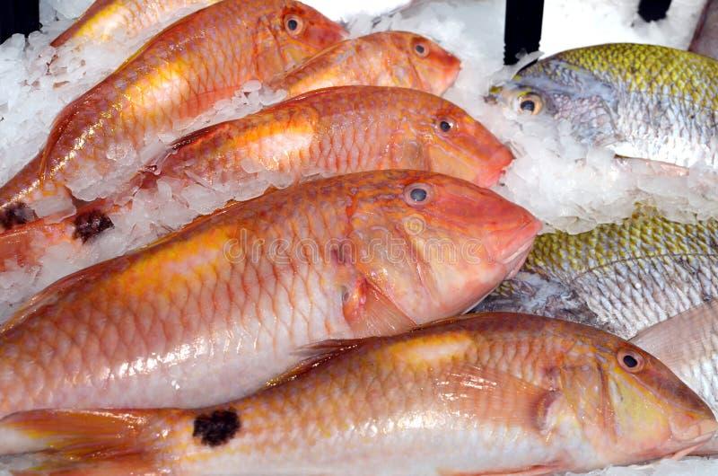 Pesce di triglia rosso con scale rosse sul ghiaccio raffreddato, fresco, greggio sul mercato del pesce immagine stock libera da diritti