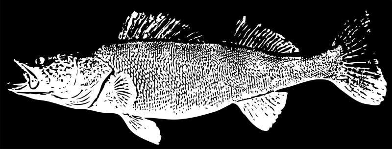 Pesce di Zander Walleye su fondo nero illustrazione di stock