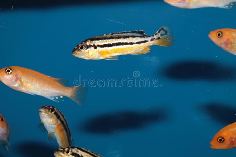 Pesce dorato dell'acquario delle cichlidae del Malawi (melanochromis auratus) fotografia stock libera da diritti
