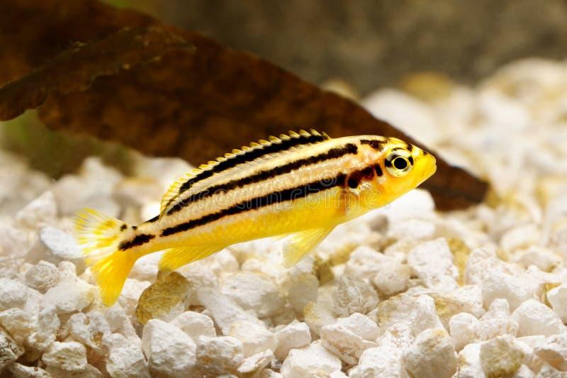 Pesce dorato dell'acquario di mbuna di melanochromis auratus delle cichlidae di Auratus immagini stock