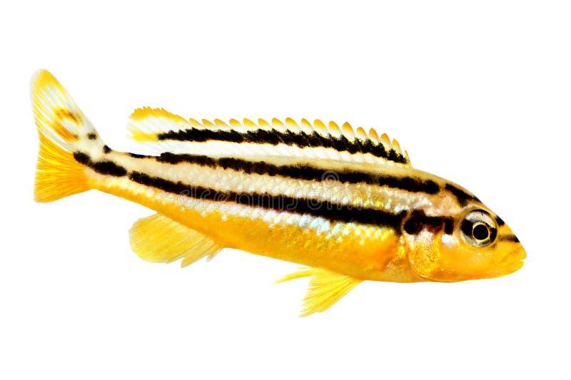 Pesce dorato dell'acquario di mbuna di melanochromis auratus delle cichlidae di Auratus isolato fotografie stock