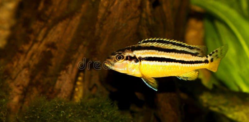 Pesce dorato dell'acquario di mbuna di melanochromis auratus delle cichlidae di Auratus fotografia stock libera da diritti