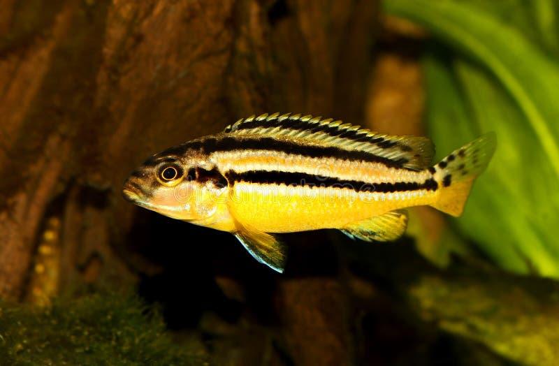 Pesce dorato dell'acquario di mbuna di melanochromis auratus delle cichlidae di Auratus isolato fotografie stock libere da diritti