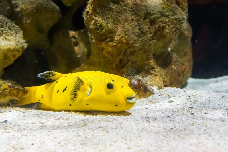 Pesce dorato della soffiatore del guineafowl che nuotano sopra il fondo, un pesce tropicale divertente e velenoso dall'oceano Pac immagini stock libere da diritti